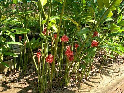 Kelebihan Pokok Kantan Tanaman Bunga Petani