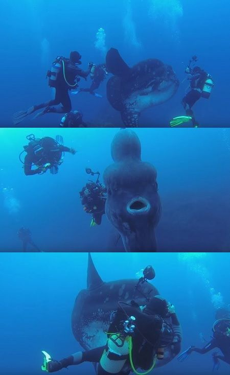 Diver Captures Video Of A Giant Ocean Sunfish(VIDEO) #diver