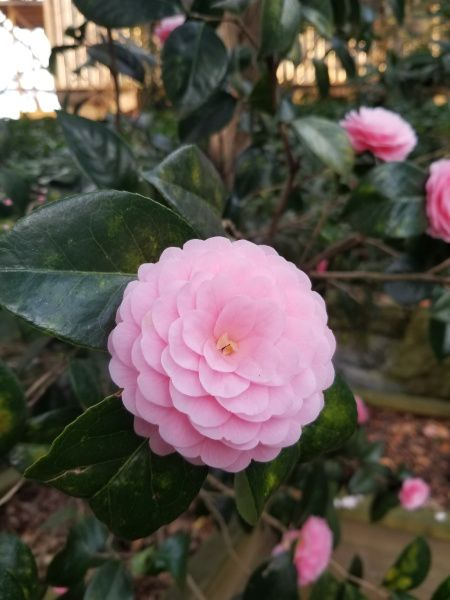 Camellia Japonica Japanese Camellia Pink Perfection In Full Bloom Spring Flowers Gardens Landscape Landscaping Company Colorful Landscape Flowers