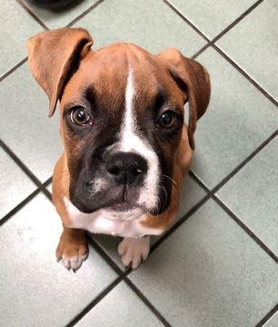 Boxer Puppy For Sale In Arlington Tx Adn 71220 On Puppyfinder
