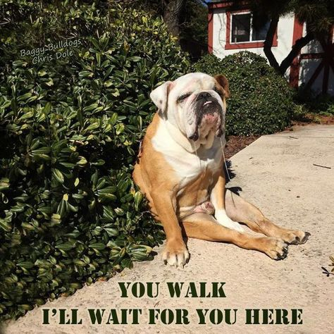 The major breeds of bulldogs are English bulldog, American bulldog, and French bulldog. The bulldog has a broad shoulder which matches with the head. English Bulldog Funny, English Bulldog Puppies, Funny Bulldog, Blue English Bulldogs, French Bulldogs, Blue Merle, Funny Dogs, Funny Animals, Cutest Animals