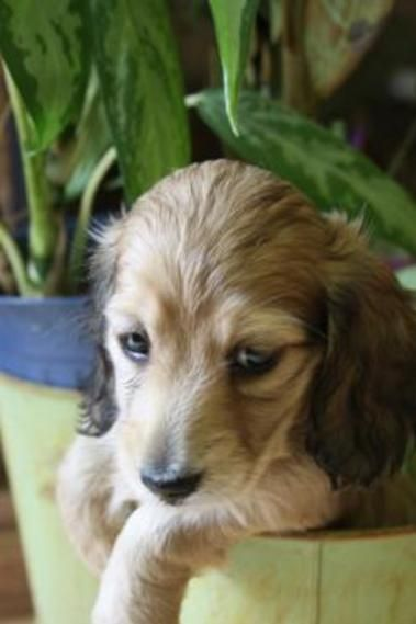 Classic Dachshunds Puppies For Sale In Ontario English Cream