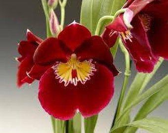 Rare Black Orchid Catasetum Monierara Millenium Magic Etsy In 2020 Orchids Oncidium Types Of Orchids