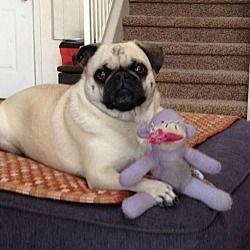 Surprise Arizona Pug Meet Princess Buttercup Answers To Dog