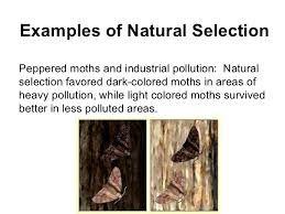natural selection peppered moth example essay  natural selection peppered moth example essay 2 natural selection