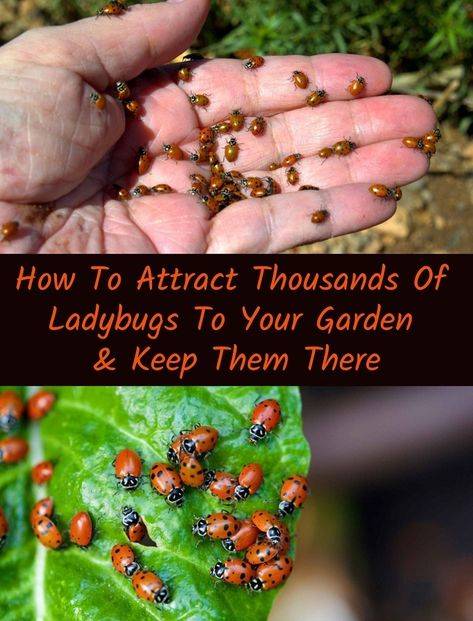 How To Attract Thousands Of Ladybugs To Your Garden & Keep Them There