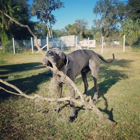 Fergus The Blue Great Dane Perfectstick On A Perfect Warm