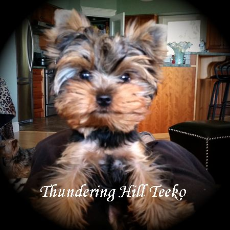 Yorkie Puppies For Sale B C Canada Teacup Yorkies For Sale In 2020 Yorkie Puppy For Sale Yorkie Puppy Puppies For Sale