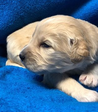 Litter Of 5 Goldendoodle Puppies For Sale In Portland Nd Adn