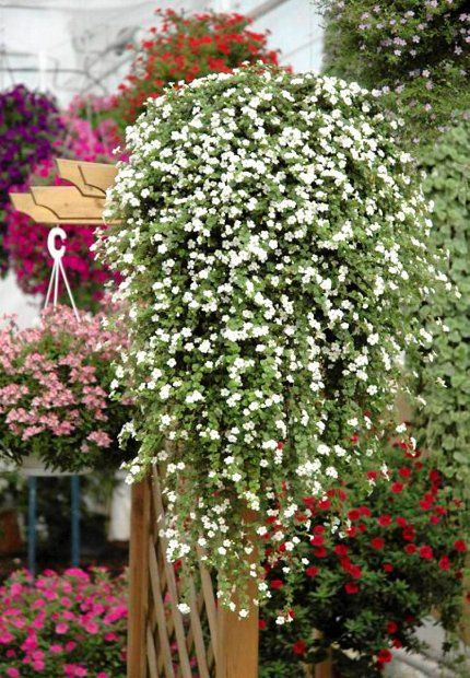 Najbujniejsze Kwiaty Na Balkon Plants Hanging Flowers Bacopa