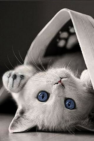 Beautiful Cats For Sale In Lahore Beautiful Siberian Cats Pretty Cats Kittens Kittens Cutest