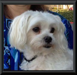 Mix Of Maltese Poodle Https Www Alohateacuppuppies Com