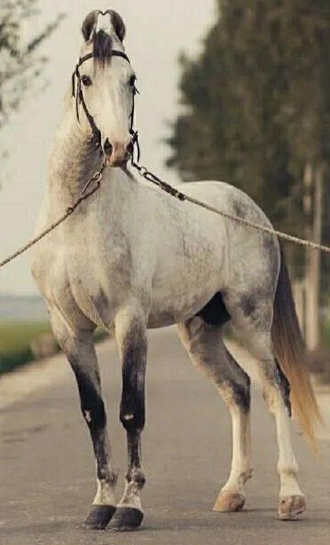 11 Best Marwari images in 2020 | Marwari horses, Horse breeds, Horses