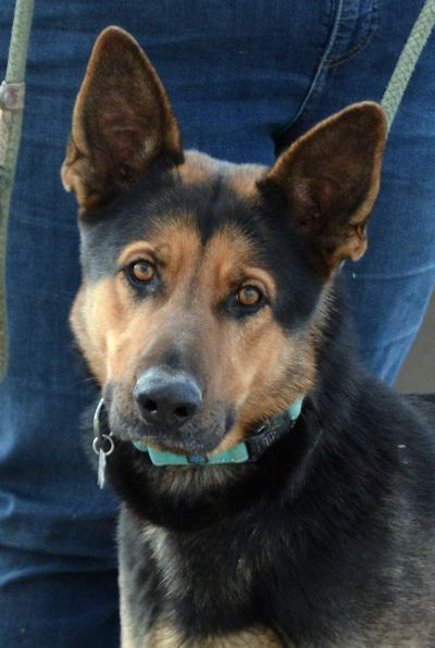 Adopt Chase On Dog Friends German Shepherd Dogs Animal Rescue