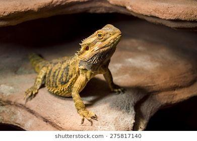 Free Image On Pixabay Bearded Dragon Australia Lizard Pet