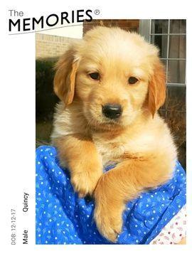 Golden Retriever Puppy For Sale In Missouri City Tx Adn 62950 On