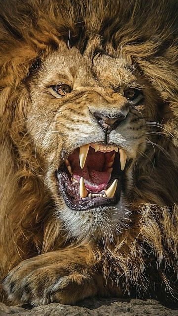 New Best Mobile Wallpaper Pictures Download Free Lion Images Lion Pictures Lion Photography