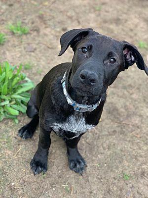 Austin Tx Labrador Retriever Meet Puppy Zero A Pet For Adoption Labrador Retriever Dog Pounds Pets