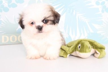 Brie Lovable Female Imperial Shih Tzu Puppy Animal Puppies For Sale Shih Tzu Puppy Puppies