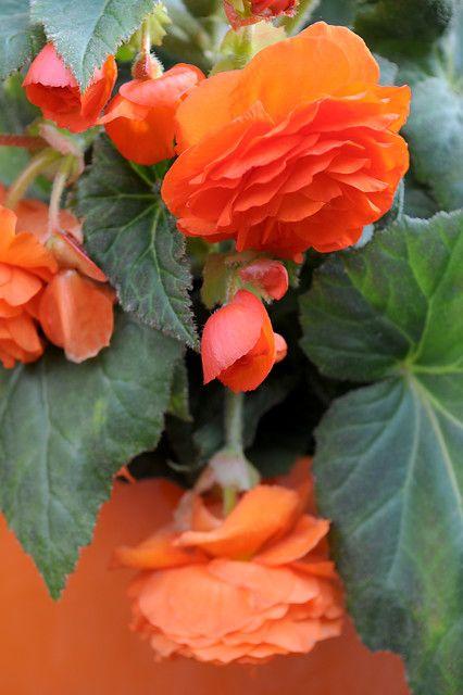 Begonia In 2020 Bulb Flowers Plant Flower Bulbs Flowers
