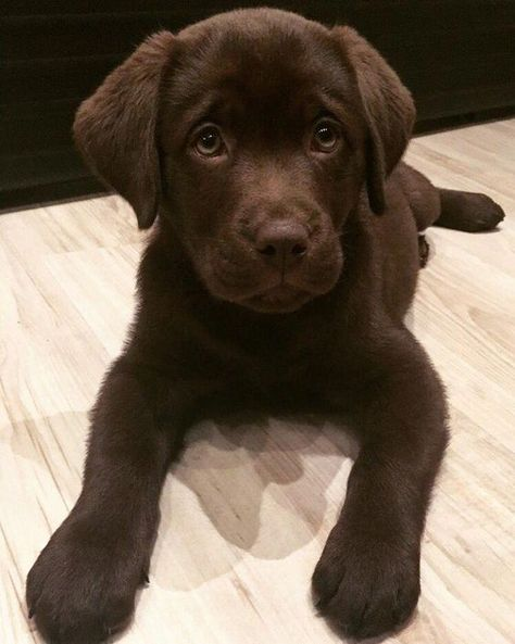 Chocolate Lab Puppy – Hunde – - Top Of The World Baby Animals Pictures, Cute Animal Pictures, Cute Little Animals, Cute Funny Animals, Cute Dogs And Puppies, I Love Dogs, Doggies, Cutest Small Dogs, Black Lab Puppies
