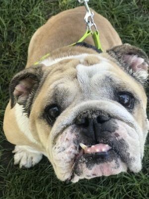Adopt Winston On Pet Adoption Bulldog Rescue Adoption