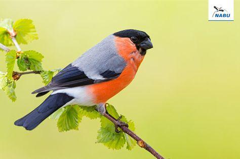 Vogel In Deutschland 307 Arten Kurz Vorgestellt Nabu Dompfaff Vogel Im Garten Gimpel