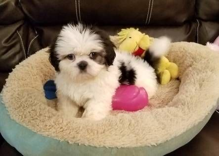 Find Your Dream Puppy Of The Right Dog Breed At Puppies For Sale Puppies Shih Tzu