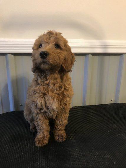 Dog Hacks Diy Puppys Doghacksdiypuppys Goldendoodle Puppy For Sale Goldendoodle Puppy Puppies For Sale