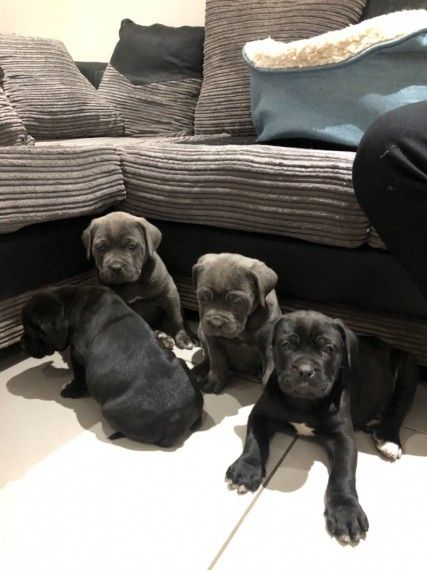4 Stunning Cane Corso Puppies Fr Sale In Kuwait
