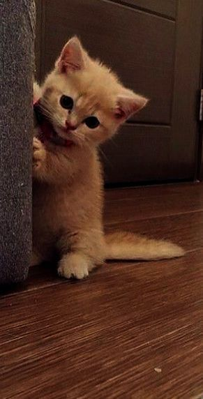But I M Too Cute To Go To Puppy Jail Kittens Cutest Cute Kitten Gif Cats And Kittens