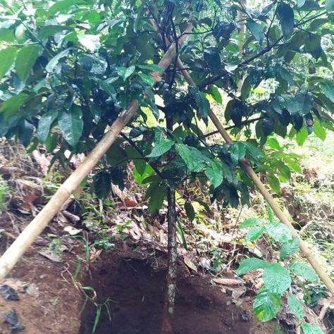 Kebun Kayu Gaharu