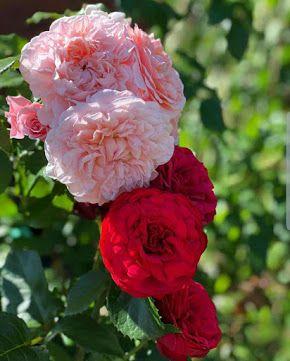 بوكيهات ورد شيك جدا اجمل صور بوكيهات ورد شيك جدا اجمل بوكيه ورد طبيعي Rose Flowers Plants