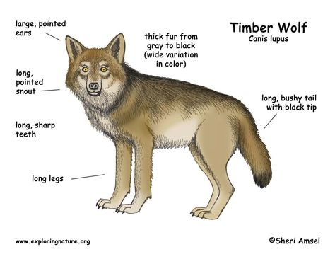 Diagram Of Coyotes - Auto Electrical Wiring Diagram •