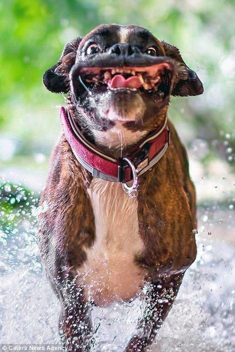 Boxer Dogs Cute Dogs Boxer Boxer Dogs Funny Animals Dog
