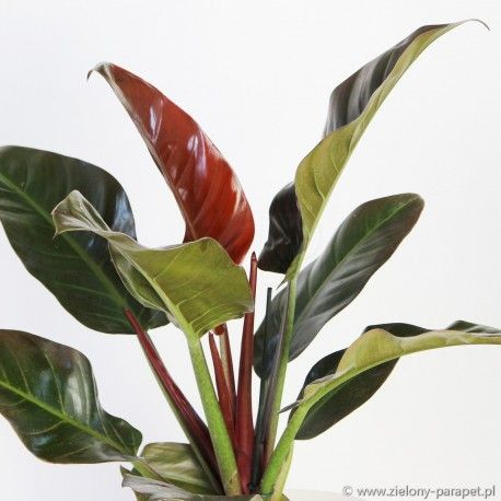 Philodendron Imperial Red Zielony Parapet Philodendron Plant Leaves Home Garden Plants