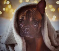 """""""Good morning"""", from Linny Pooh, the French Bulldog Puppy ☀☀☀ @linnypoohs on instagram."""