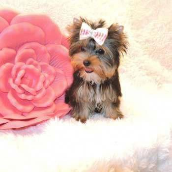 Check Out Our Internet Site For More Details On Yorkshire Terriers It Is An Excellent Area To Read Mo In 2020 Yorkshire Terrier Puppies Yorkie Puppy Terrier Puppies