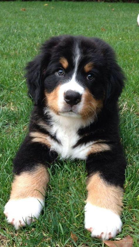 Cute Little Puppies, Cute Little Animals, Cute Dogs And Puppies, Cute Funny Animals, Baby Dogs, Doggies, Baby Baby, Pet Dogs, Baby Animals Pictures