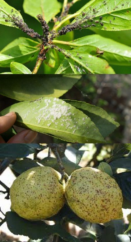 How To Identify Lemon Tree Pests How Identify Lemon Tree Pests Lemon Plant Lemon Tree Citrus Trees