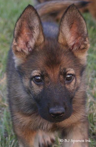 German Shepherd Sable Puppy Germanshepherdnames German Shepherd