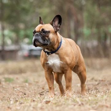 French Bulldog Puppies For Sale Adoptapet Com Hobby Breeders