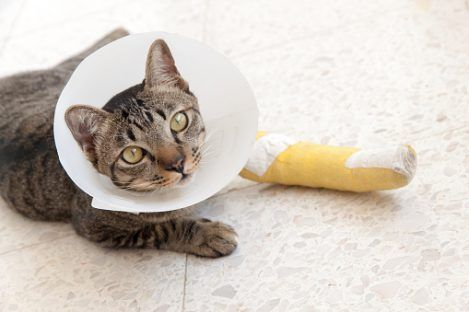 Broken Bones And Fractures In Cats Cat Injuries Cats And Kittens Cats