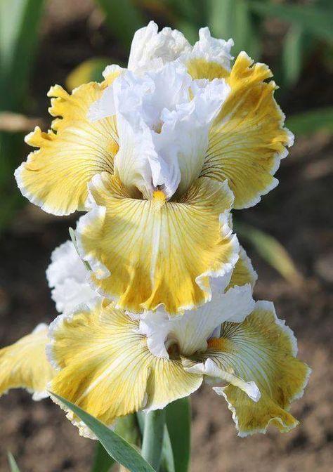 2 Healthy Bearded Iris Roots Wedding Flower Study Room Decor Bonsai Fragrance