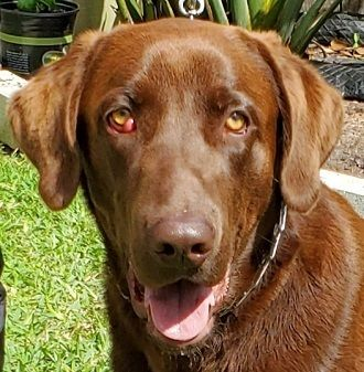 Adopt Brody 17 On Petfinder In 2020 Big Puppies Labrador Retriever Dog Retriever Dog