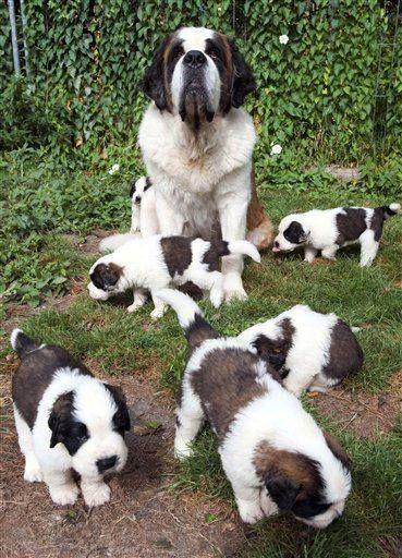 St. Bernard and her Puppies