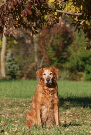 Health Related Articles Specific To Golden Retrievers Raising