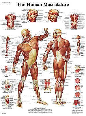 Anatomische Lehrtafel 70 x 100 cm Das Lymphsystem des Menschen