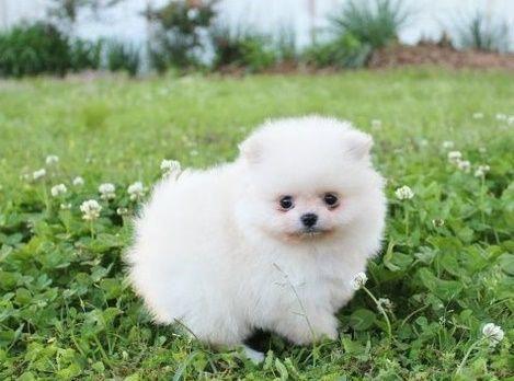 Pomeranian Puppies For Sale Green Bay Wi Pomeranianhaircut