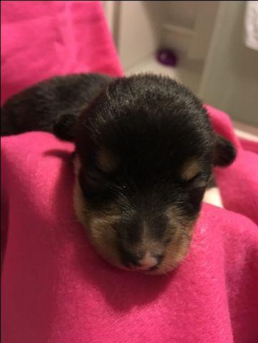 Litter Of 7 Pembroke Welsh Corgi Puppies For Sale In Bemidji Mn Adn 35111 On Puppyfi Pembroke Welsh Corgi Pembroke Welsh Corgi Puppies